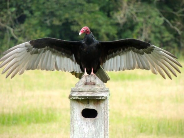 Dancing Turkey Vulture