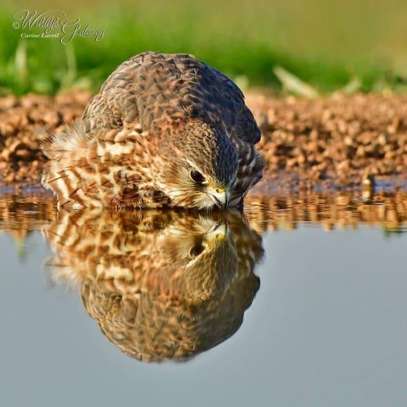 Female Merlin, in the Mirror