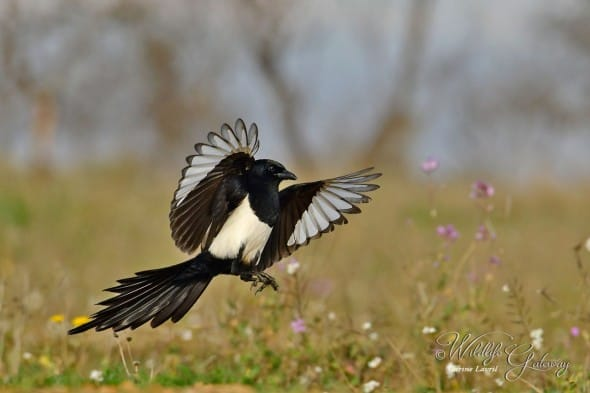 Simply Magpie!