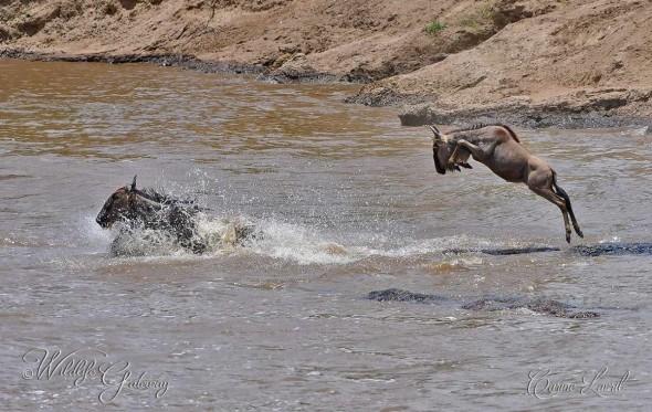 Wildebeest, the Wild Beast!