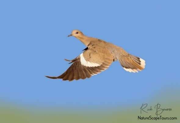 White-winged Dove Take Off