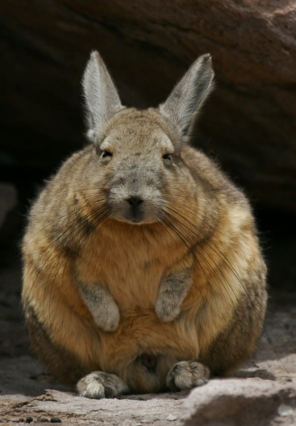 Iamwatching-vizcachas