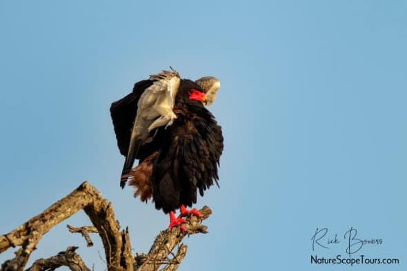 Bateleur Stretching