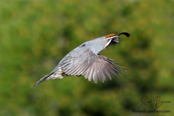 Gambel's Quail in Flight