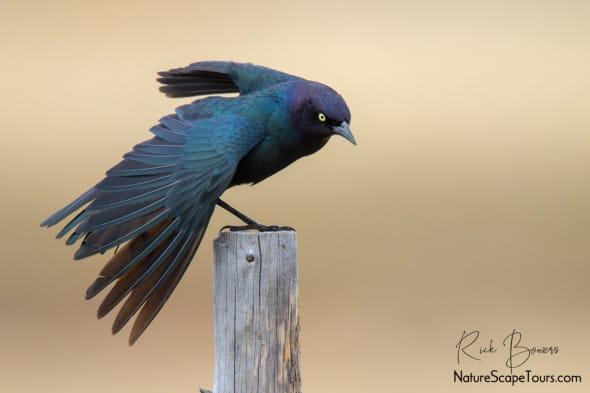 Brewer's Blackbird Stretching