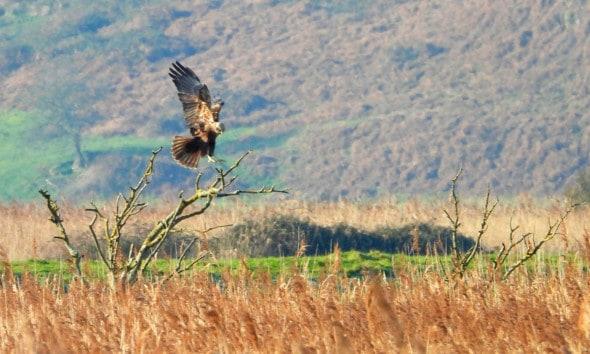 Kingdom of the Marsh Harrier