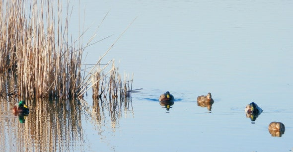 Ducks on Placid Lake