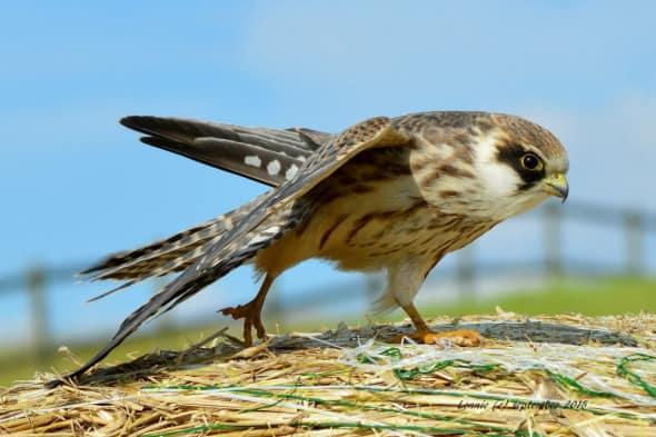 Juvenile Evening Falcon