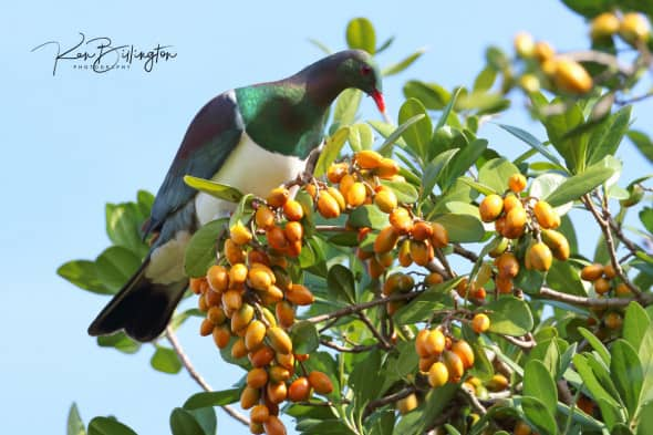 Kereru (Hemiphaga Novaeseelandiae)