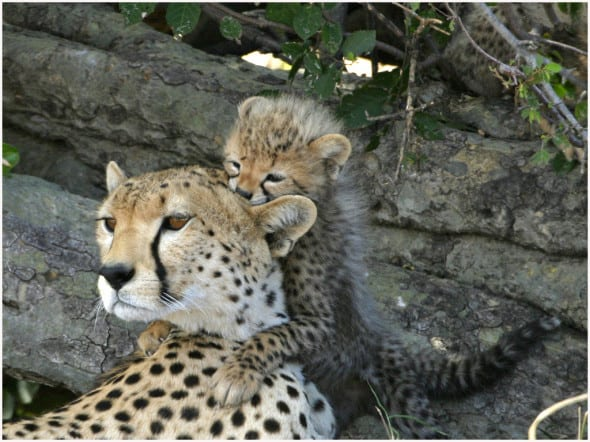 Cheetah Mother with Cub