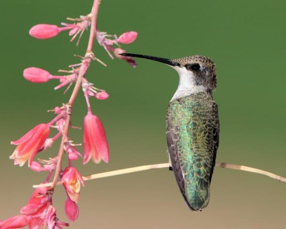 Juvenile Black-chinned Hummingbird Resting
