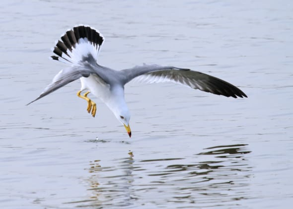 Black-tailed Gull Diving for Eels