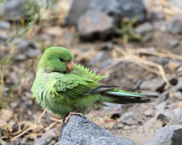 Mountain Parakeet Preening