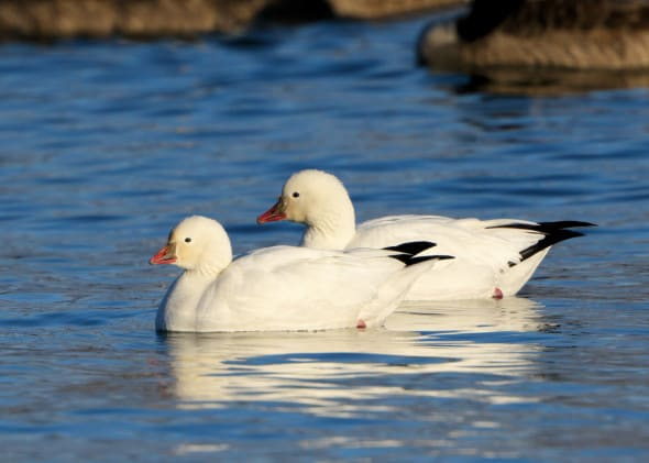 Ross's Goose Pair