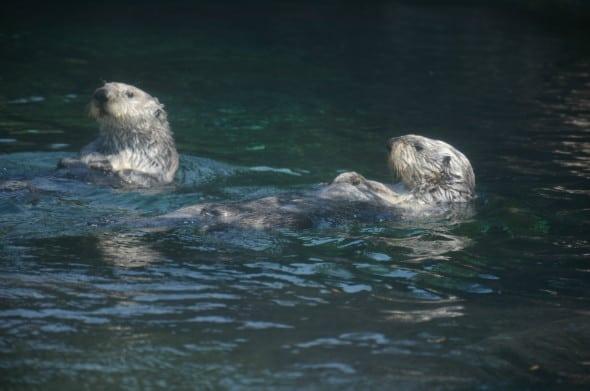 Swimming Southern Sea Otters