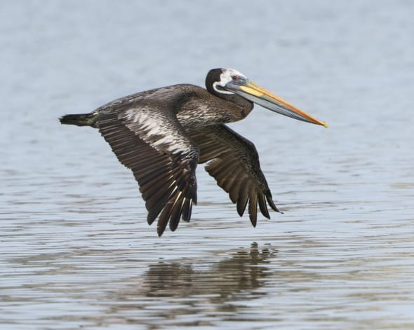 Peruvian Pelican, Non-breeding Adult