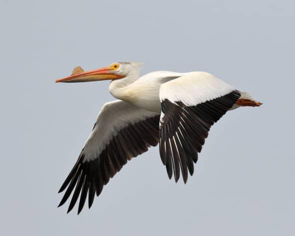 American White Pelican in Breeding Condtion