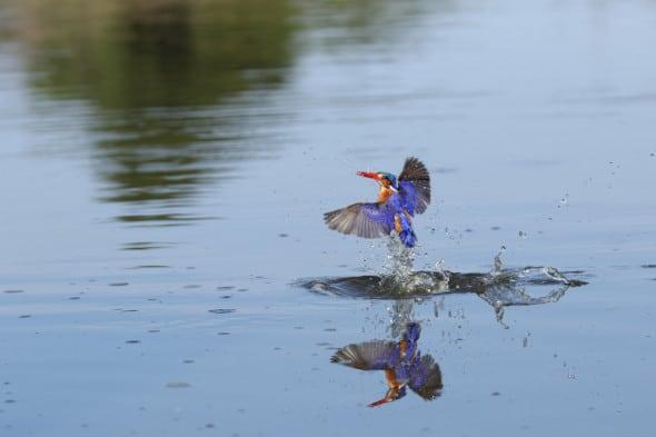 Malachite Kingfisher Catching It Prey