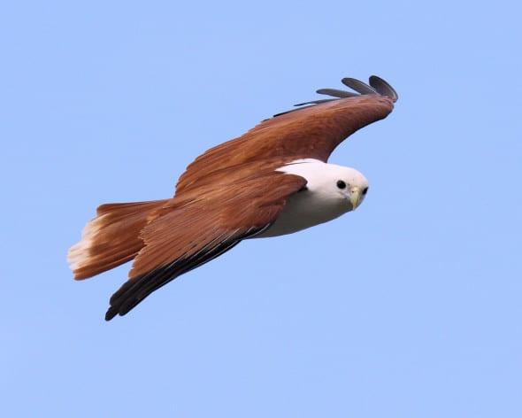 Brahminy Kite Hunting