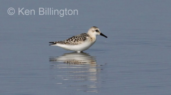 Sanderling (Calidris alba) (001)