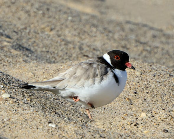 Critically Endangered Adult Hooded Plover