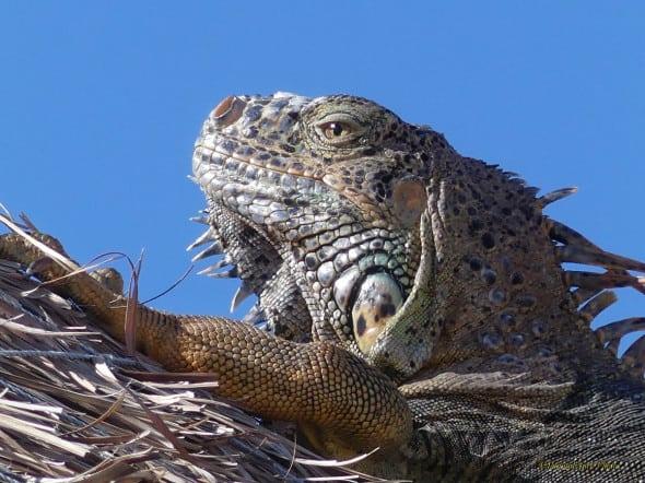 Yucatan Iguana - Contemplating  Life