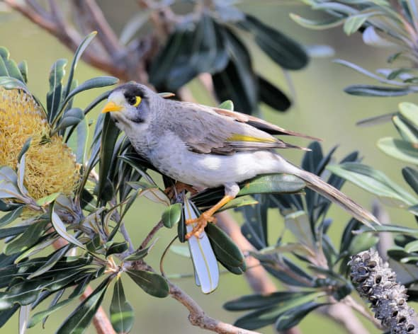 Noisy Miner Feeding in a Banksia