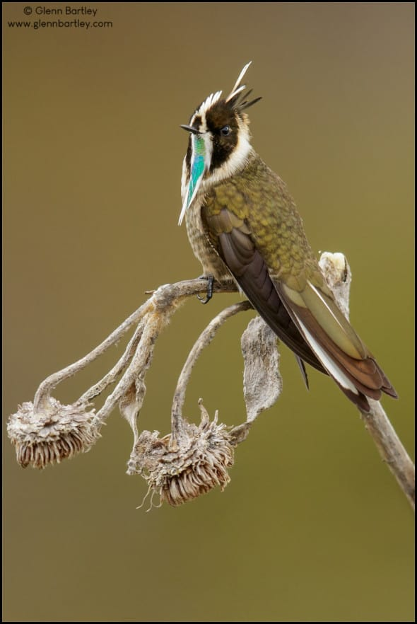 Green-bearded Helmetcrest (Oxypogon guerinii)