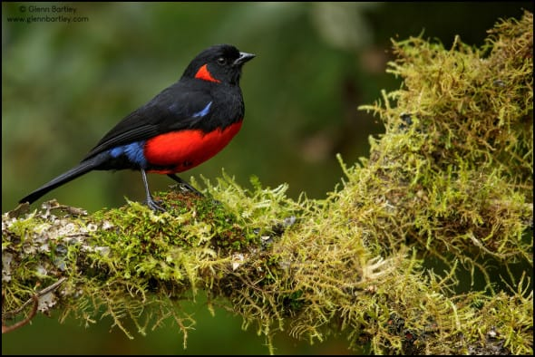 Scarlet-bellied Mountain-tanager (Anisognathus lunulatus)