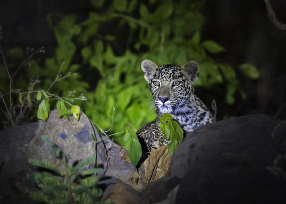 Young Indian Leopard Cub