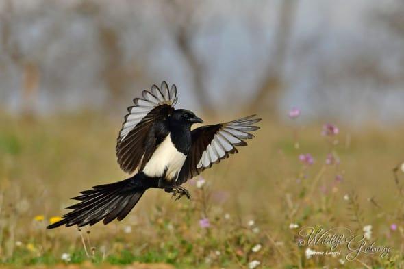 Happy Magpie