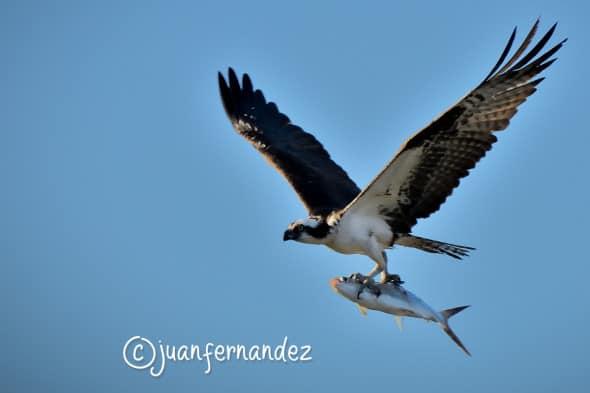 Osprey & Sierra