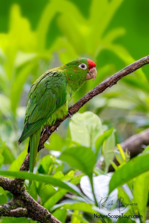 Crimson-fronted Parakeet