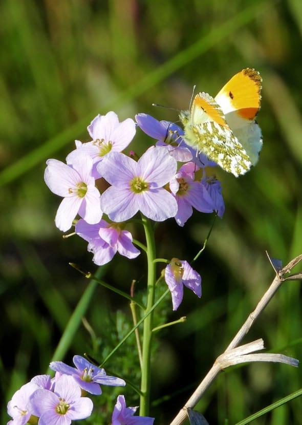 Pollination - Orange Tip