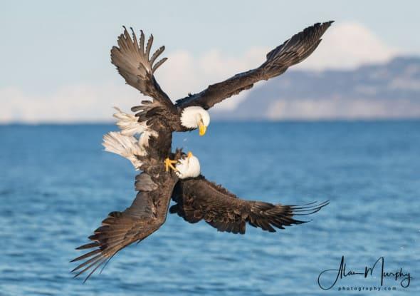 Bald Eagles at Kachemak Bay, Alaska