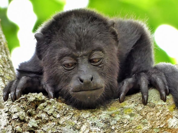 Baby Howler Monkey - It's a Tough Life