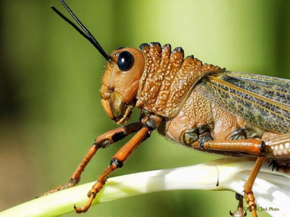 Locust at Rest