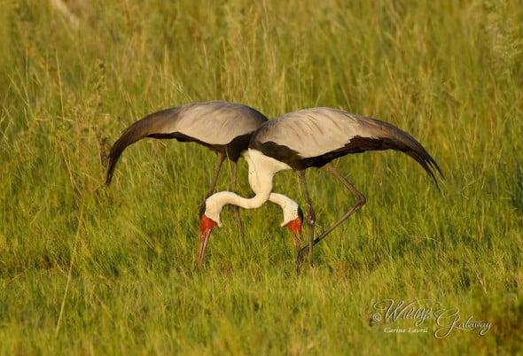 Wattled Cranes, at Heart