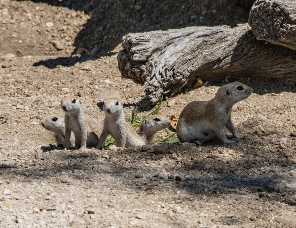 Round-tailed Ground Squirrel Mom and Babies