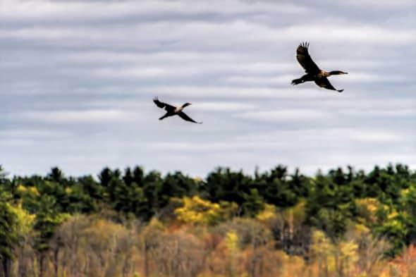 Double-crested Comorants in Flight