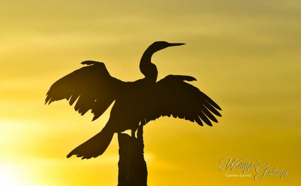 Anhinga at Sunrise
