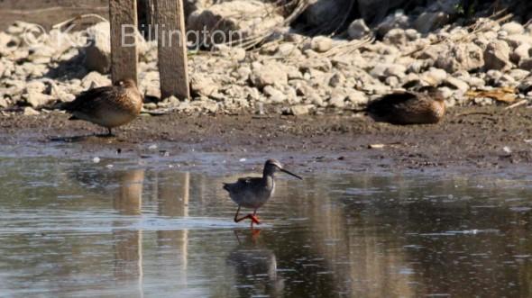 Spotted Redshank (Tringa erythropus) (1)