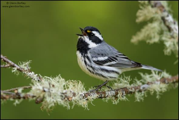 Black-throated Gray Warbler (Dendroica nigrescens)