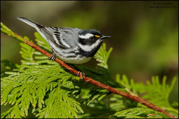 Black-throated Gray Warbler (Dendroica nigrescens) perched on a branch in British Colombia, Canada.