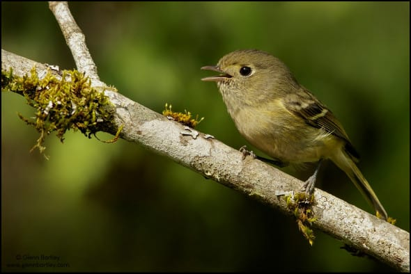 Hutton's Vireo (Vireo huttoni) perched on a branch in British Colombia, Canada.