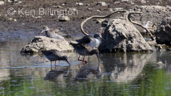Spotted Redshank (Tringa erythropus) (3)