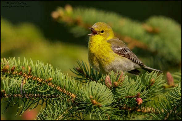 Pine Warbler (Dendroica pinus)