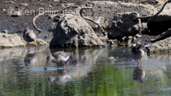Spotted Redshank (Tringa erythropus) (4)