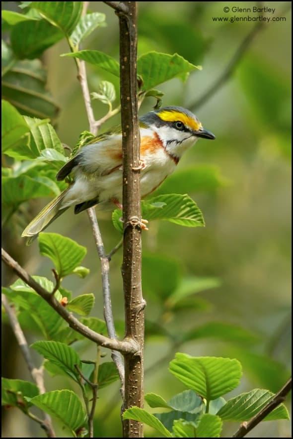 Chestnut-sided Shrike-Vireo (Vireolanius melitophrys)