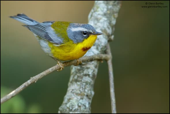 Crescent-chested Warbler (Oreothlypis superciliosa)